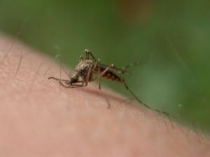蚊にくわれる